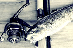 Fresh rainbow trout closeup,Soft lighting effect. Stock Photography