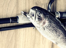 Fresh rainbow trout closeup,Soft lighting effect. Royalty Free Stock Images