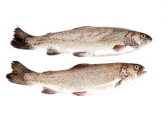 Fresh rainbow trout fish Royalty Free Stock Photos
