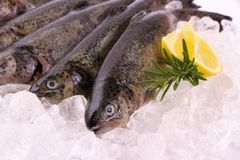 Fresh rainbow trout with lemon on ice. Close up Royalty Free Stock Photos