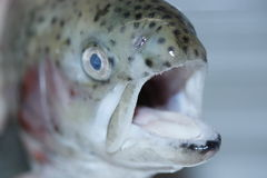 Fresh rainbow trout opened its mouth. Stock Photo