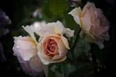 Fresh raindrops dew on pink rose. Flower blossom Royalty Free Stock Photo