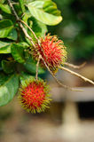 Fresh Rambutan Fruit (Nephelium lappaceum). MALACCA, MALAYSIA – JULY 2014: Fresh asian red rambutan fruit (Nephelium lappaceum) from Malaysia and its ready to Royalty Free Stock Photography