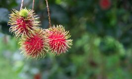 Fresh rambutan  fruit on the tree in the garden , kamphaengphet. Thailand Stock Image