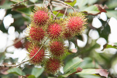 Fresh rambutan  fruit on the tree in the garden , kamphaengphet. Thailand Stock Photography