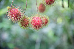 Fresh rambutan  fruit on the tree in the garden , kamphaengphet. Thailand Royalty Free Stock Photos