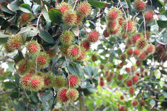 Fresh rambutan fruits on tree. Stock Photography