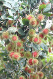 Fresh rambutan fruits on tree. Fresh rambutan fruits on tree in orchards Stock Photography