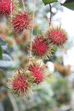 Fresh rambutan fruits on tree. Royalty Free Stock Images