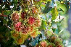 Fresh rambutan from garden for sale. Fresh rambutan from garden for sale in market Stock Photography
