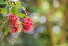 Fresh Rambutan Nephelium lappaceum tropical fruits hanging on brunch tree. In the garden Stock Photography