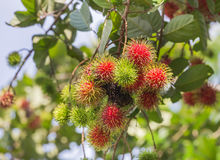 Fresh Rambutan Nephelium lappaceum tropical fruits hanging on brunch tree. In the garden Royalty Free Stock Images