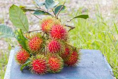 Fresh rambutans on blue bench, with copyspace on the right.  Royalty Free Stock Photo