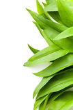 Fresh ramsons leaves. Wild garlic leaves. Healthy vegetable Stock Image