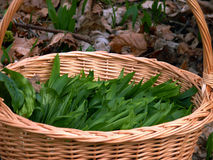 Fresh ramsons or wild garlic in a basket with outside background. A fresh ramsons or wild garlic in a basket with outside background Royalty Free Stock Photos