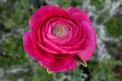 Fresh ranunculus magenta flower. Top closeup view of ranunculus magenta flower Stock Photography