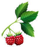 Fresh rasberries with stem Royalty Free Stock Image