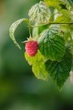 Fresh raspberries. Natural fresh raspberries on the branch Stock Images