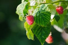 Fresh raspberries. Stock Photo