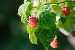 Fresh raspberries. Natural fresh raspberries on the branch Stock Photo