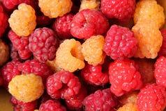 Fresh raspberries background. Fresh red and yellow raspberries background Royalty Free Stock Photos