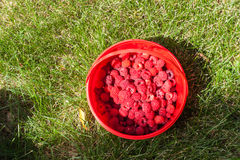 Fresh raspberries on a background of green grass. Fresh raspberries in a red bucket on a background of green grass Royalty Free Stock Images