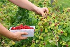 Fresh raspberries. Berry picking, fresh raspberries growing in garden in countryside Royalty Free Stock Images