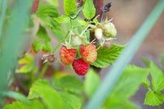 Fresh raspberries. Branch of fresh raspberries in a garden Stock Images