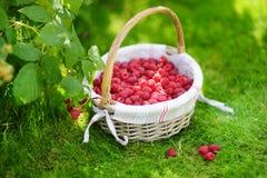 Fresh raspberries in the cute basket under raspberry bush. Fresh ripe raspberries in the cute basket under raspberry bush Stock Images