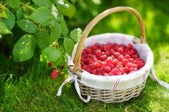 Fresh raspberries in the cute basket under raspberry bush. Fresh ripe raspberries in the cute basket under raspberry bush Royalty Free Stock Photos