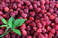 Fresh raspberries with leaves as background, top view Royalty Free Stock Photos