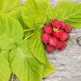 Fresh raspberries with leaves in water droplets Stock Image