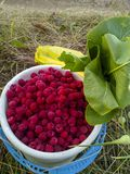 Fresh raspberries in a white bucket on a background of green grass. The harvest in the garden.  Royalty Free Stock Photos