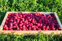 Fresh raspberries in a wooden box on a background of green grass. Ripe berries in wooden box. royalty free stock images