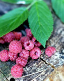 Fresh raspberry. Delicious fresh raspberry in the forest Royalty Free Stock Images