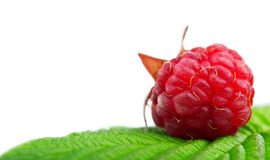 Fresh raspberry. Isolated on white background Stock Photos