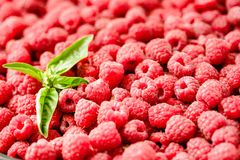 Fresh raspberry and basil background closeup photo.Top view..Det. Ox diet food and raw vegan concept.Organic Stock Image