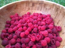 Fresh Raspberry. Berries picked in a big wooden plate Royalty Free Stock Images