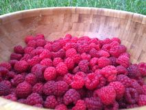 Fresh Raspberry. Berries picked in a big wooden plate Stock Images