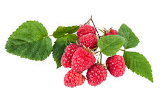 Fresh raspberry branch with ripe berries isolated on white Stock Image