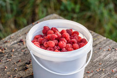 Fresh raspberry in the bucket on the wooden table. Fresh and ripe raspberry in the bucket on the outdoor wooden table in garden Royalty Free Stock Photos