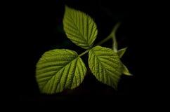 Fresh raspberry leaf. On black background Stock Images