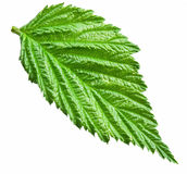 Fresh raspberry leaf. File contains clipping paths Stock Photography