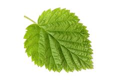 Fresh raspberry leaf isolated closeup. Fresh raspberry leaf isolated closeup on white background Stock Photos