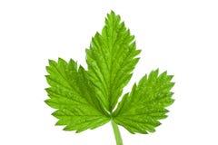 Fresh raspberry leaf isolated on white background.  Stock Image