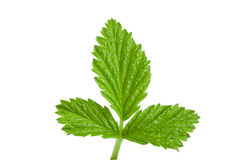 Fresh raspberry leaf isolated on white background.  Stock Photography