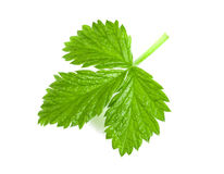 Fresh raspberry leaf isolated on white background.  Stock Photo