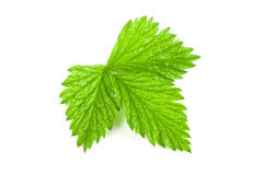 Fresh raspberry leaf isolated on white background.  Royalty Free Stock Photos
