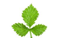 Fresh raspberry leaf isolated on white background.  Stock Photo