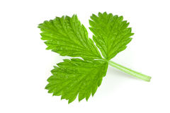Fresh raspberry leaf isolated on white background.  Royalty Free Stock Photos